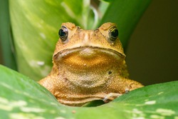 Front view of angry Asian black-spined, black-spectacled, common Sunda and Javanese toad (Chordata, Amphibia, Anura, Bufonidae, Duttaphrynus melanostictus) reveal the lower part and under mouth