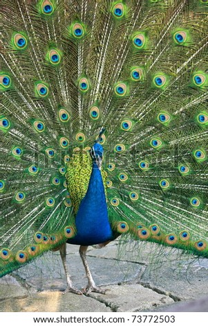 front view of beautiful peacock showing colorful tail
