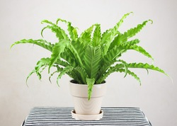 Front view of  Bird s Nest Fern or Asplenium antiguum in plant pot on table with stripe pattern table cloth on white background.gardening morning routine concept.