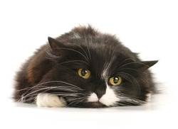 Front view of Black and white cat on white background