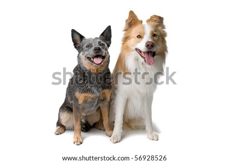 front view of border collie and australian cattle dog sitting, isolated on a white background