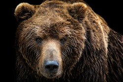 Front view of brown bear isolated on black background. Portrait of Kamchatka bear (Ursus arctos beringianus)