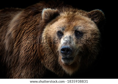 Front view of brown bear isolated on black background. Portrait of Kamchatka bear (Ursus arctos beringianus) Stock fotó ©