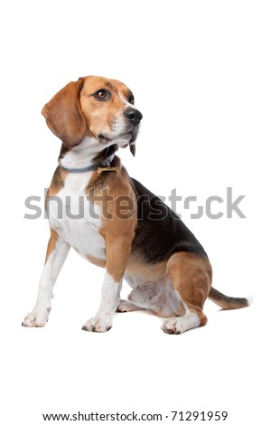 Front view of cute beagle dog sitting, isolated on a white background