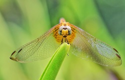 Front view of dragonfly perching on leaf