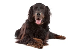 Front view of Gordon Setter dog lying down, on a white background