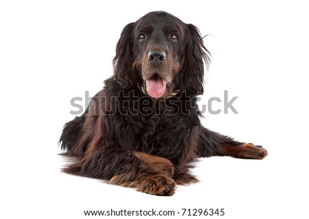 Front view of Gordon Setter dog lying down, on a white background - stock photo
