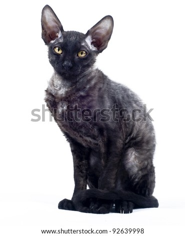 Front view of grey Cornish Rex cat on white