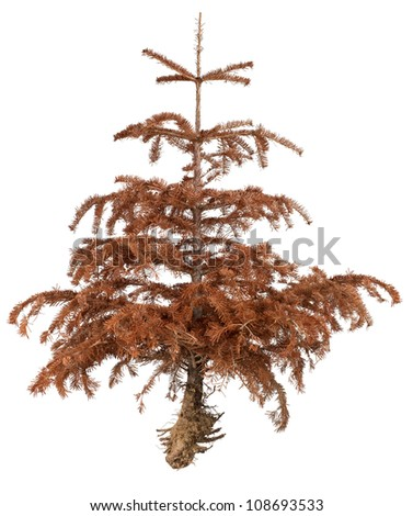 Front view of isolated dead pine tree with roots