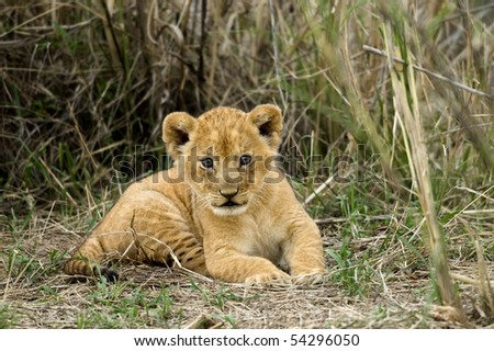 Front view of lion cub, Serengeti National Park, Serengeti, Tanzania