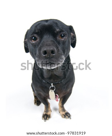 Front view of little black dog staring ahead