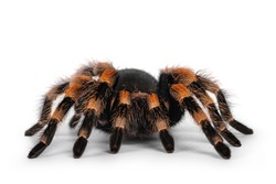 Front view of moving Mexican Redknee tarantula aka Brachypelma hamorii. Isolated on white background.