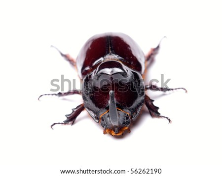 Front view of Rhino beetle on a white background.