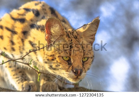 Front view of Serval, Leptailurus serval, on a tree in natural habitat with blurred background. The Serval is a spotted wild cat native to Africa. #1272304135