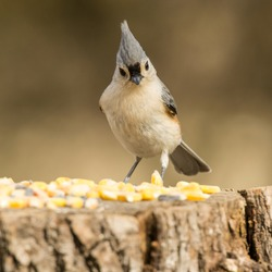 Front view of small grey Tufted Titmouse song bird on feeding stump feeder close-up