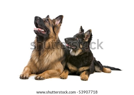 front view of two German shepherd dogs