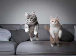 front view of two maine coon kittens jumping almost simultaneously over the couch