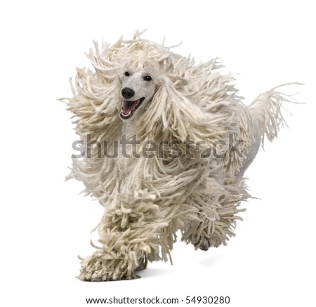 Front view of White Corded standard Poodle running in front of white background