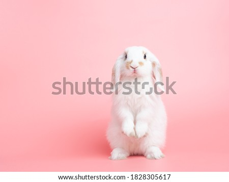 Front view of white cute baby holland lop rabbit standing on pink background. Lovely action of young rabbit.