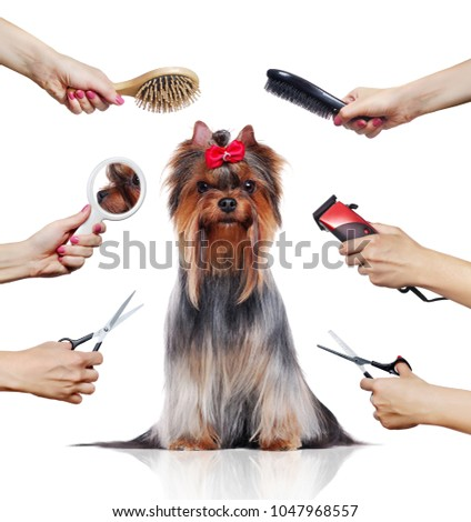 Front view of Yorkshire Terrier while grooming procedure