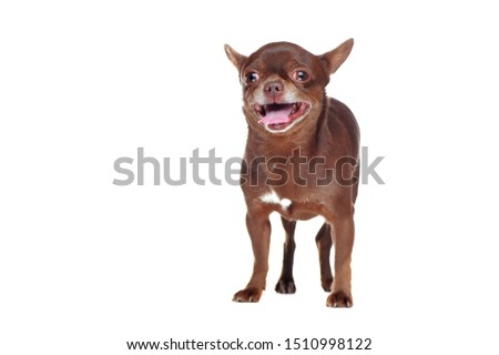 Front view picture of a standing chihuahua