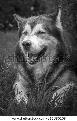 Front view portrait of a large adult Alaskan Malamute male dog resting in the grass with open mouth. Black and white.