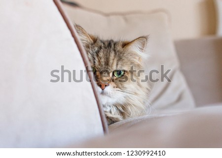 Front view portrait of a sneaky adult cat curiously peeking around the arm rest of a beige couch with pillow in soft focus in the background