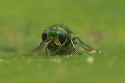Frontal closeup on the beautiful green metallic Ruby tailed cuckoo wasp, gold wasp, Chrysis ignita sitting on a green leaf
