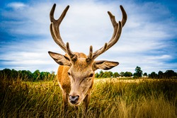 Frontal clouse up image of a male deer on the fields of Richmoond near London, UK. Head of a red deer in the wild with vignetting effect