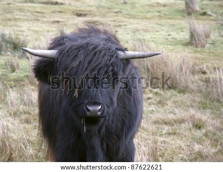 frontal dark Highland cattle portrait in Scotland - stock photo