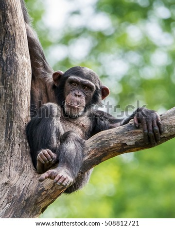 Frontal Portrait of a Young Chimpanzee Relaxing in a Tree #508812721
