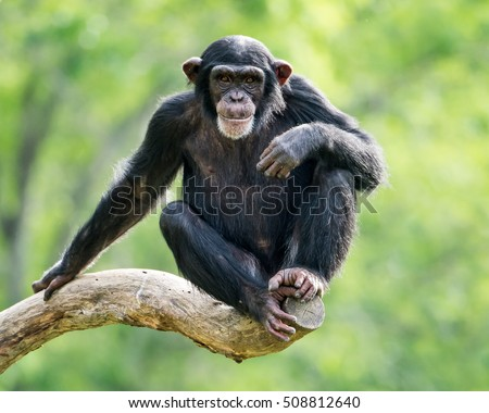 Frontal Portrait of a Young Chimpanzee Relaxing on a Tree Branch #508812640
