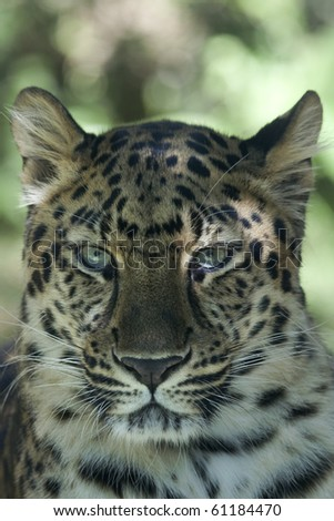 Frontal portrait of an Amur Leopard