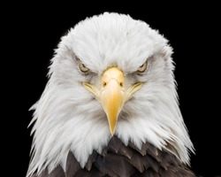 Frontal portrait of Bald Eagle