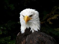 Frontal portrait of Bald Eagle, bird of prey
