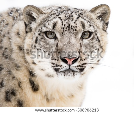 Frontal Portrait of Snow Leopard Against a White Background #508906213
