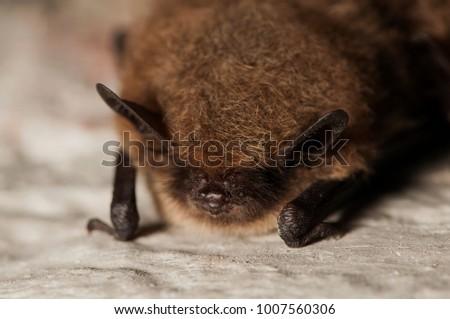 Frontal shot of a whiskered bat (Myotis mystacinus), hibernating on a stone wall - Shutterstock ID 1007560306