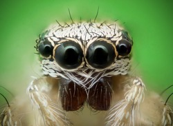 Frontal view of a jumping spider and its eyes