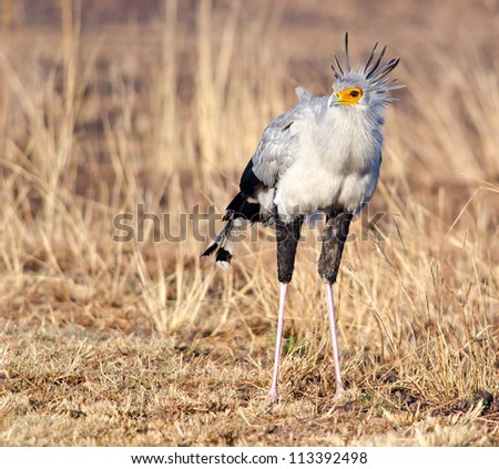 Frontal view of a Secretary bird