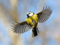 Frontal view of flying Blue Tit/Nice flight of nice bird