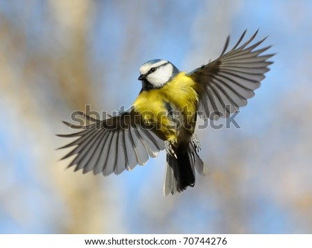 Frontal view of flying Blue Tit/Nice flight of nice bird