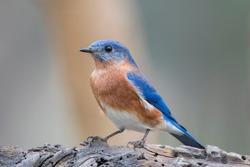 Frontal View of Male Eastern Bluebird