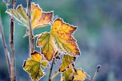 Frost-covered colorful currant leaves in the autumn garden