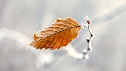 Frost-covered dry autumn leaf on a light blurred background
