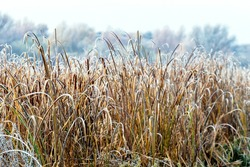 Frost-covered dry reeds on the river bank, morning frost