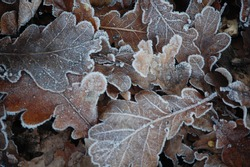 Frost covered leaves on a cold day