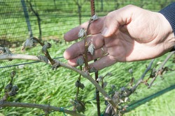 Frost damage in wine plants, cold weather conditions in winegrowing
