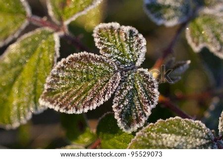 frost leaves in the morning sun