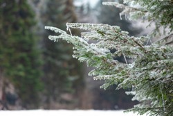 Frost on the branches of coniferous trees. Winter bright background. Branches of fir covered with frost.