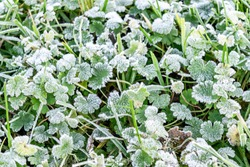 Frost on the grass in the cold season. Rime on plants close-up. Late autumn or early winter landscape. Spring frosts. Grass under the snow in spring.